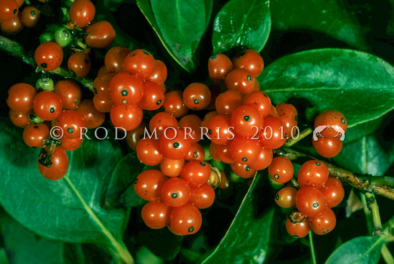 11009-31024 Shining karamu (Coprosma lucida) berries. Kaikoura *