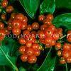 11009-31024 Shining karamu (Coprosma lucida) berries. Kaikoura