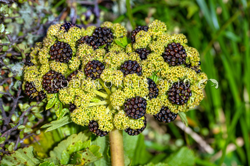 DSC_2352 Macquarie Island cabbage (Azorella polaris) detail of flowerhead with developing fruit on plant on Enderby Island, Aucklands Group *