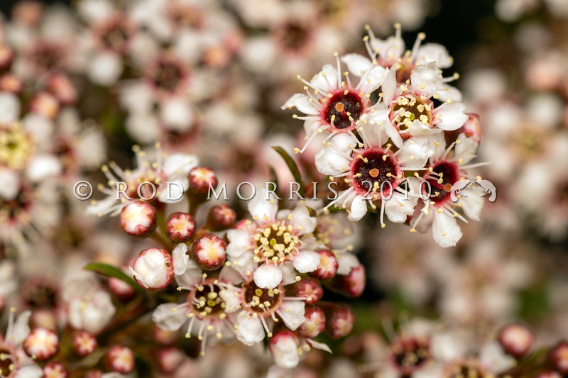 DSC_0277 Kanuka (Kunzea ericoides) the red-centred white flowers of the northern South Island form of kanuka - most common in Northwest Nelson. Wairau River *