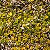 DSC_1262 Half star, or remuremu (Selliera radicans)in flower, and  forming a dense turf of 'salt meadow' on the salt marsh. Purakanui Inlet, Otago *