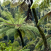 DSC_2811 Mamaku, or Black tree fern (Cyathea medullaris) our tallest tree fern, and one which also grows on Pacific Islands from Fiji to Pitcairn. Trees may be up to 20m tall, with fronds up to 6m long. A common species in lowland forests. Mamaku Plateau *