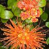 DSC_7720 Orange climbing rata, or akatawhiwhi (Metrosideros fulgens) orange flowers in forest, Coromandel Peninsula *