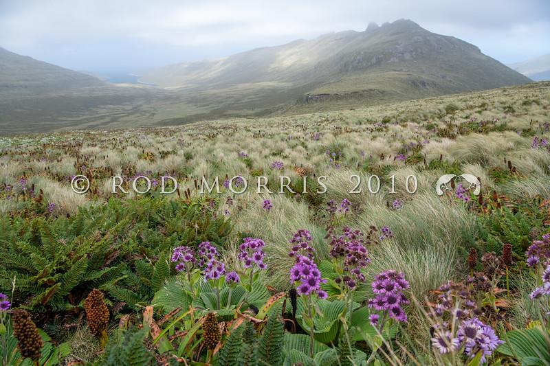 DSC_2699 Great emperor daisy (Pleurophyllum speciosum) the subantarctic's most spectacular megaherb, in flower on Col Lyall, Campbell Island *