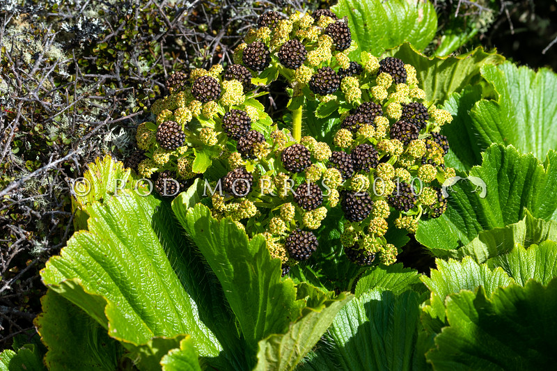 DSC_2358 Macquarie Island cabbage (Azorella polaris) detail of flowerhead with developing fruit on plant on Enderby Island, Aucklands Group *