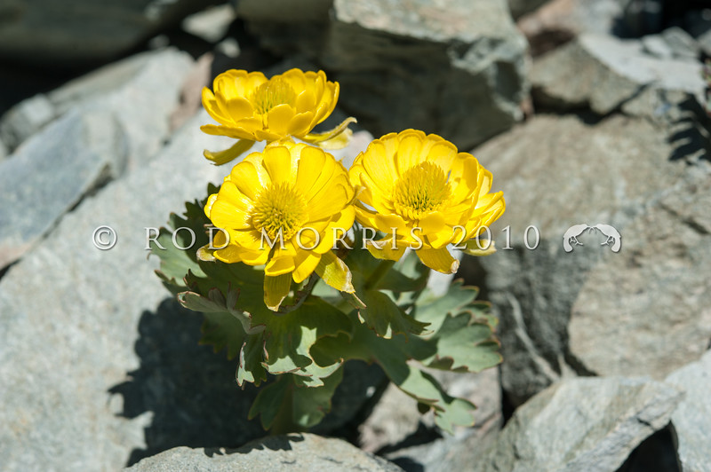 DSC_6674 Scree buttercup (Ranunculus acraeus) a nationally endangered 'mountain buttercup' found high on the greywacke screes of South Canterbury and North Otago, sometimes alongside (Ranunculus haastii). St Mary's Range *