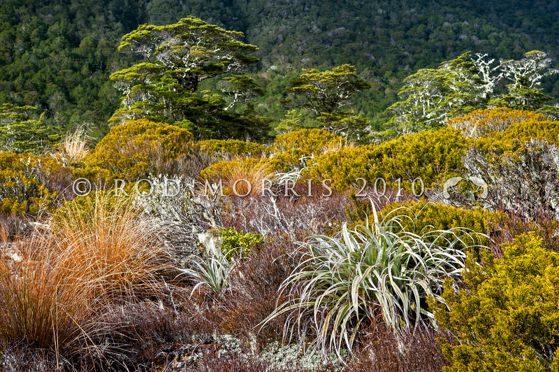 DSC_ 6339 Subalpine vegetation including turpentine scrub, bog pine, red tussock, club moss and lichens, with Mountain beech in the background. Tarn Nature Walk, Lewis Pass.