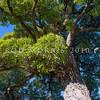 DSC_4667 Ngaio (Myoporum laetum) a solitary old tree against the sky. Ngaio, Wellington *
