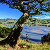 11011-85022 Ngaio (Myoporum laetum) a solitary old tree frames a view of Otago Peninsula farmland with Papanui Inlet at low tide behind *