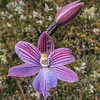 IMG_0264 Striped sun orchid, or maikuku (Thelymitra cyanea) an orchid of bogs and damp areas. Conspicuously striped flowers are typically dark blue, but they can be pink, and occasionally white. Jollies Pass *
