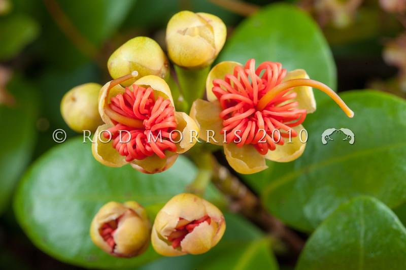 DSC_7732 Orange climbing rata (Metrosideros fulgens) orange flowers in forest, Coromandel Peninsula *
