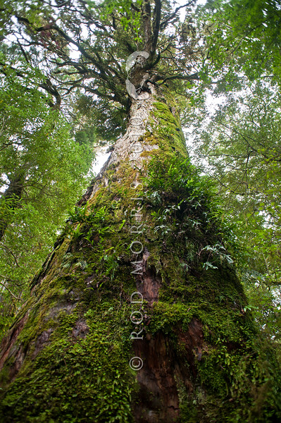 DSC_2755 Hall's totara (Podocarpus cunninghamii) the trunk of one of several mighty trees in a patch of Southland forest that has never been logged. Some of these totara are over a thousand years old. Dean Forest, Southland *