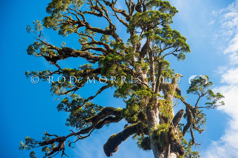 DSC_0040 Kahikatea (Dacrycarpus dacrydiodes) the canopy of an emergent forest giant at Ships Creek, Westland *