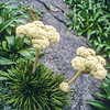 11009-26121 Snowball spaniard (Aciphylla congesta) in flower. Sinbad Headbasin, Fiordland *