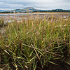 DSC_1366 Cord grass (Spartina sp.) an introduced weed which grows vigorously on tidal mud flats, where no other plant establishes. The clumps are very effective at trapping sediments, causing land to build up around them, and destroying natural saltmarsh habitats. Wakouaiti Rivermouth