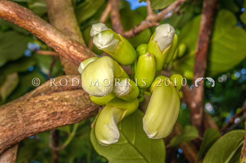 DSC_0762 Three Kings vine (Tecomanthe speciosa) developing flowers. A vigorous climber of tropical appearance. Discovered on the Three Kings Islands, 55 km off the northern tip of New Zealand, during a scientific survey in 1945, only one plant has ever been found in the wild. The long cream-coloured tubular flowers emerging directly from the stem in dense clusters, have a 'musky' scent and appear to be adapted to be pollinated by bats, however the flowers are also readily pollinated by tui and bellbirds *