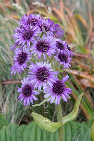 DSC_2686 Great emperor daisy (Pleurophyllum speciosum) the subantarctic's most spectacular megaherb, in flower on Col Lyall, Campbell Island *