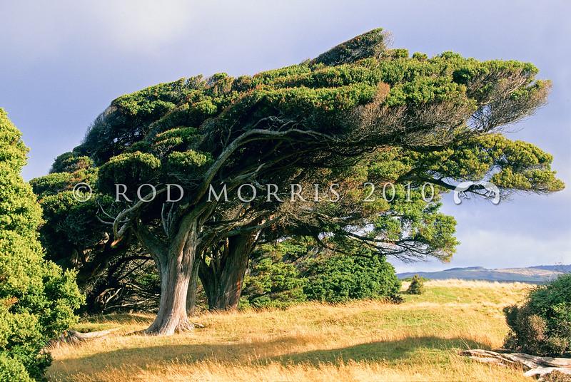 11009-06507 Totara (Podocarpus totara) windshorn tree growing near the southern coast of New Zealand