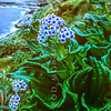 11009-45603 Chatham Island forget-me-not (Mysotidium hortense) wild flowering plants on coastal slopes above the boat harbour on Mangere Island, Chathams Group.