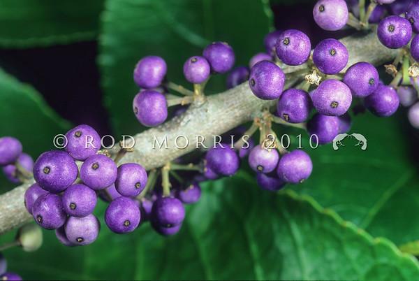 11009-12005 Mahoe (Melicytus ramiflorus) purple fruit arranged along branch