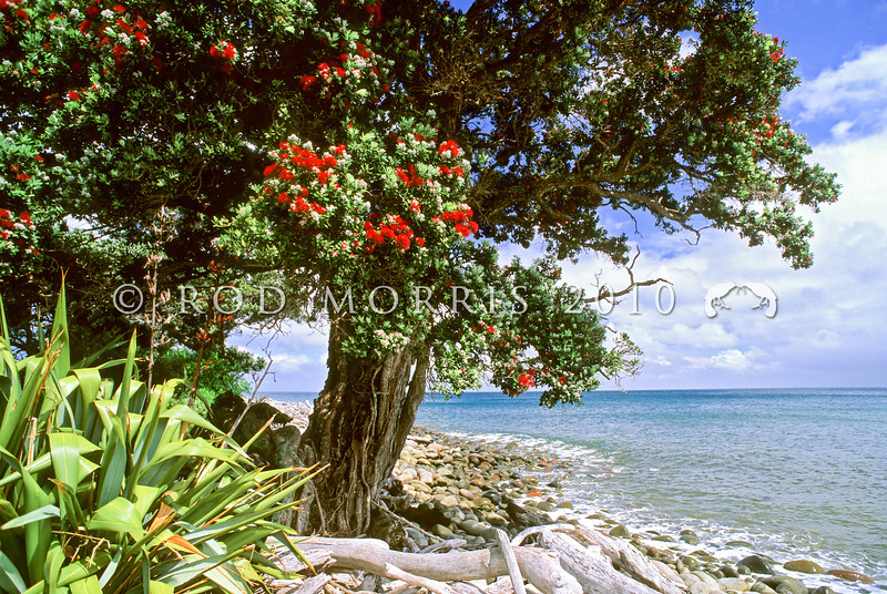 11009-16807  Pohutukawa (Metrosideros excelsa) flowering tree on coast, Little Barrier Island *