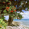 11009-16807  Pohutukawa (Metrosideros excelsa) flowering tree on coast, Little Barrier Island *