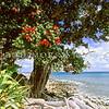 11009-16807  Pohutukawa (Metrosideros excelsa) flowering tree on coast, Little Barrier island.