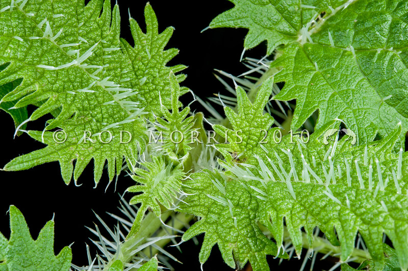 DSC_0062  Tree nettle (Urtica ferox) one of New Zealand's most poisonous native plants. Its coarsely toothed leaves have numerous white stinging hairs (trichomes), up to 6 mm long. These are hollow cylinders with tapered points, which break after piercing the skin, injecting toxins into the tissues, giving rise to pain and a rash. Otago Peninsula *
