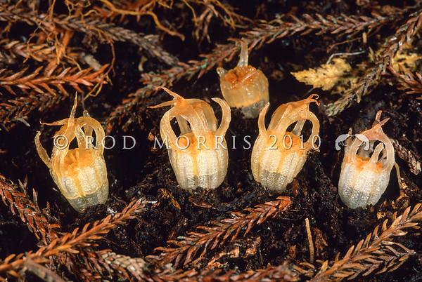 11009-55110 Fairy lantern (Thismia rodwayii) flowering in rimu litter