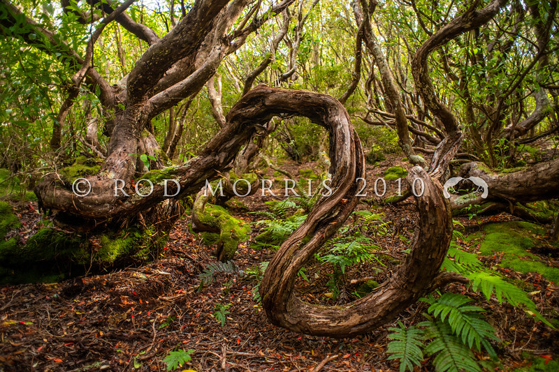 DSC_2506 Southern rata (Metrosideros umbellata) subantarctic forest interior showing the heavy twisted branches typical of ancient rata trees that have re-sprouted once fallen over. Musgrave Inlet, Auckland Islands Group *