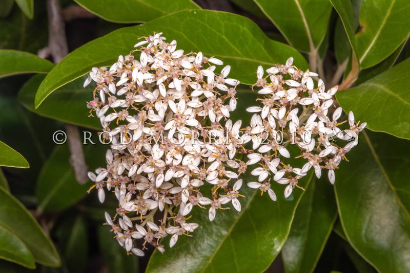 DSC_5211 Mountain akeake (Olearia avicenniifolia) white flowerhead, though they may sometimes be mauve to pink. A 'daisy bush' found throughout the South Island in lowland to montane scrub. Eglington Valley, Fiordland *