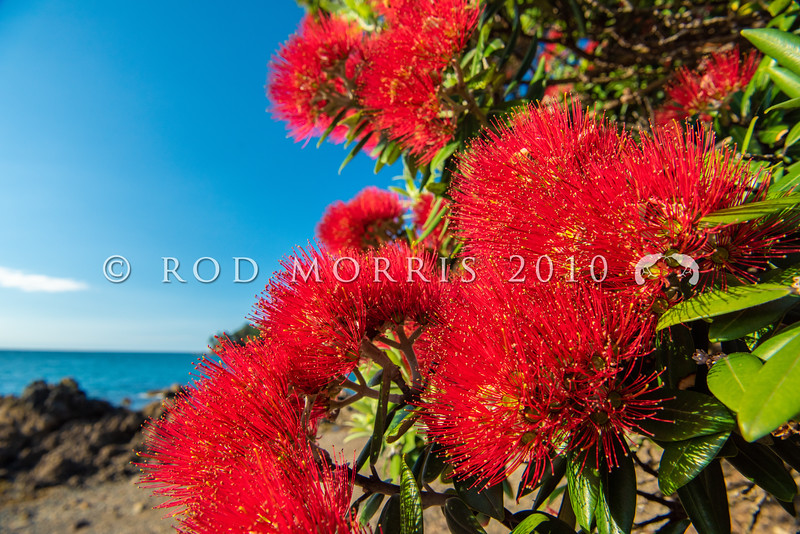 DSC_3656  Pohutukawa (Metrosideros excelsa) detail of red flowers on a tree growing on coastal cliffs. Pohutukawa once formed extensive forests around our northern coastlines. Coromandel Peninsula *