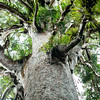DSC_5711 Kauri (Agathis australis) epiphytes in the canopy of a massive kauri still standing in Waipoua forest, a remnant of the ancient subtropical rainforest that once grew on the North Auckland Peninsula.  Waipoua Forest, Northland *