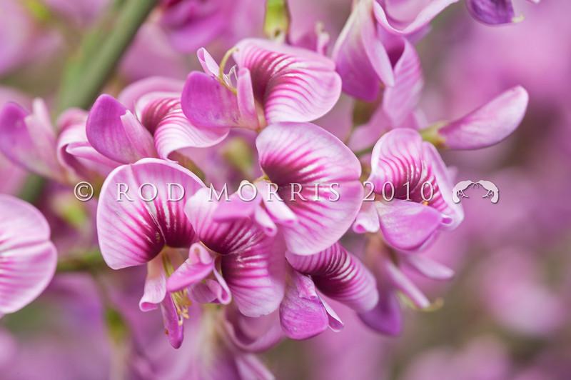 DSC_8590 Pink broom (Carmichaelia carmichaeliae) closeup of flowers on mature tree in full flower. Marlborough *