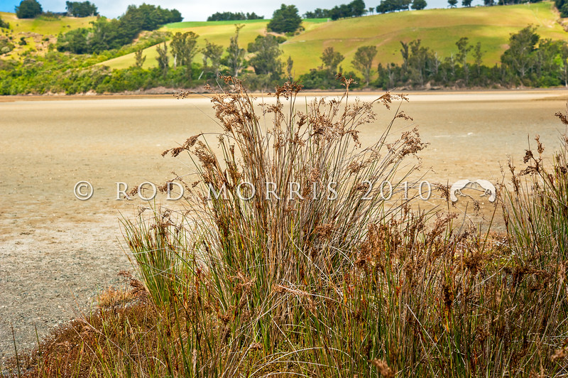 DSC_1276 Sea rush, or wiwi (Juncus kraussii var australiensis) growing in habitat at its southern-most limit of distribution. Primarily coastal where it is found in salt marshes, brackish streams, lagoons and river margins in estuaries. Purakanui Inlet, Otago *