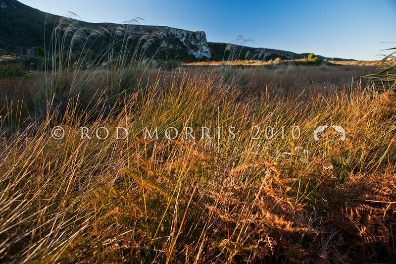 DSC_4779 Knobby club rush, or wiwi (Ficinia nodosa) in habitat. A rhizomatous perennial rush found in a wide range of habitats including coastal sand dunes. It has dark green round stems with a characteristic small dense seedhead near the sharp pointed tip of each stem. Okia Flat, Otago Peninsula