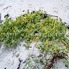 DSC_3537  Crystalwort (Atriplex billardierei) a native coastal strand plant which grows on the shoreline lower than any other native flowering plant. Now thought to be extinct in NZ and in most of Australia, (it once grew in the South Island and on Stewart Islands), it is known only from Tasmania, and the Chatham Islands. *