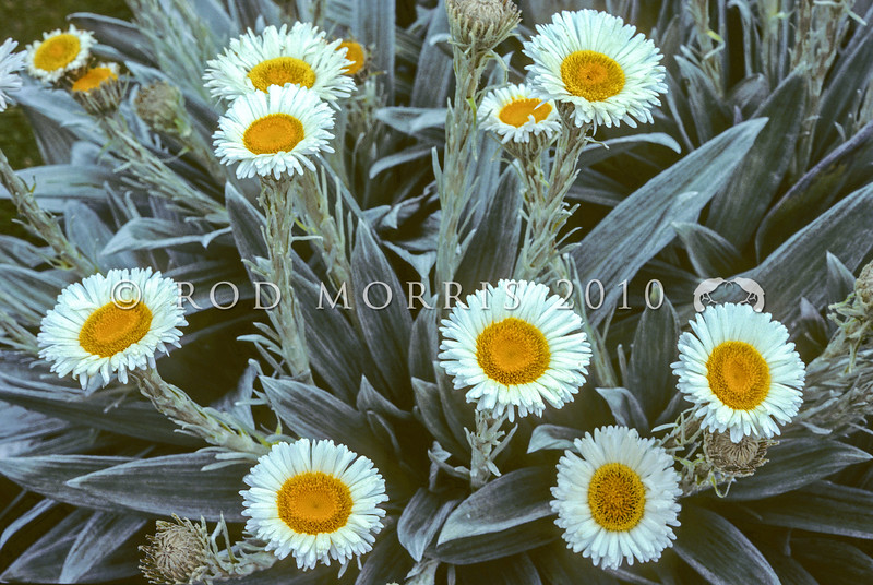 11009-33501 Large mountain daisy (Celmisia semicordata stricta) in flower in alpine basin. Blue Mountains