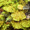 DSC_2684 Woollywort (Trichocolea mollissima) a large liverwort found commonly throughout wet rainforests in Australia and New Zealand. Its most distinctive feature is its highly divided, densely arranged and extremely small leaves, which lend it a woolly appearance; hence it's common name. Lake Monowai *