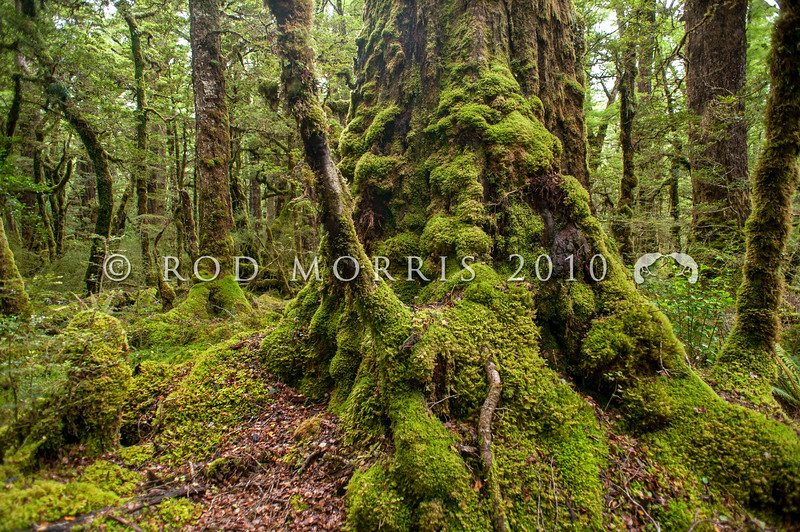 DSC_3024 Red beech (Fuscospora fusca) forest interior, with mature 350 year old trees, and damp, moss-covered trunks. Eglington Valley, Fiordland *