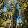 DSC_3129 Kahikatea (Dacrycarpus dacrydiodes) tall trunks and epiphytes around lake shore at Whirinaki *