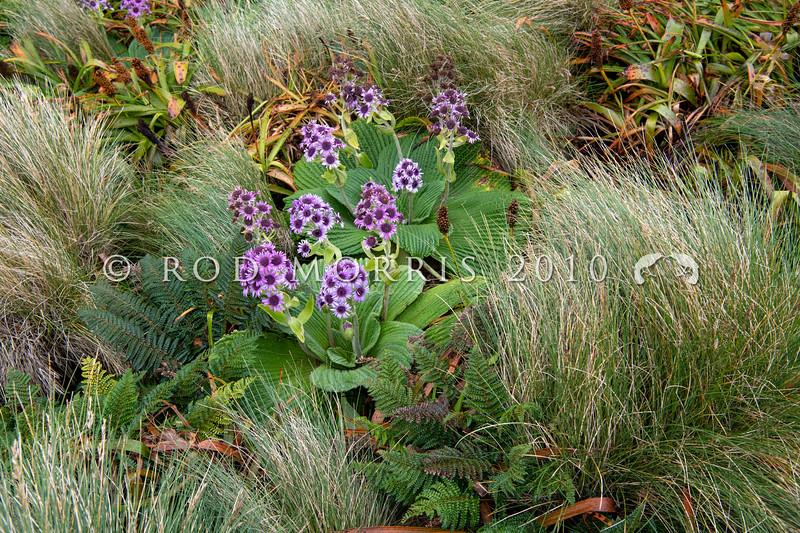 DSC_2680  Great emperor daisy (Pleurophyllum speciosum) the subantarctic's most spectacular megaherb, in flower on Col Lyall, Campbell Island *