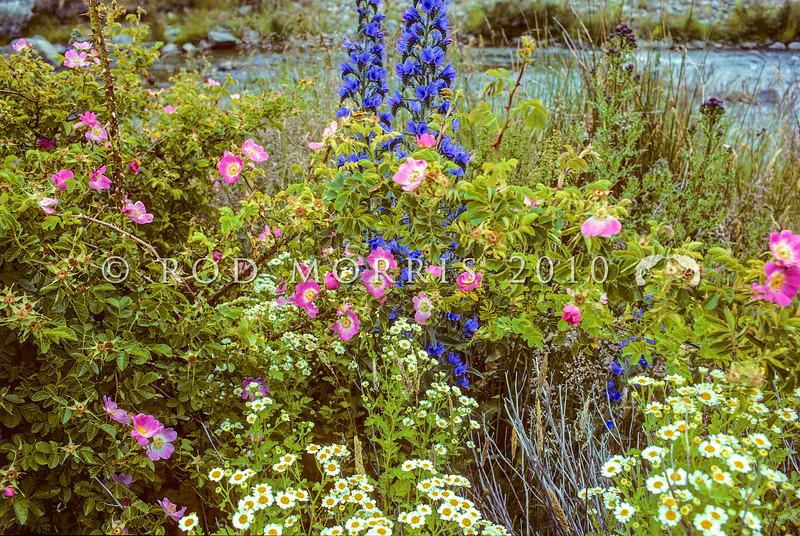 11009-00313 Central Otago naturalised wildflowers; Sweet briar (Rosa rubiginosa), Viper's bugloss (Echium vulgare), and Scentless mayweed (Tripleurospermum inodorum)