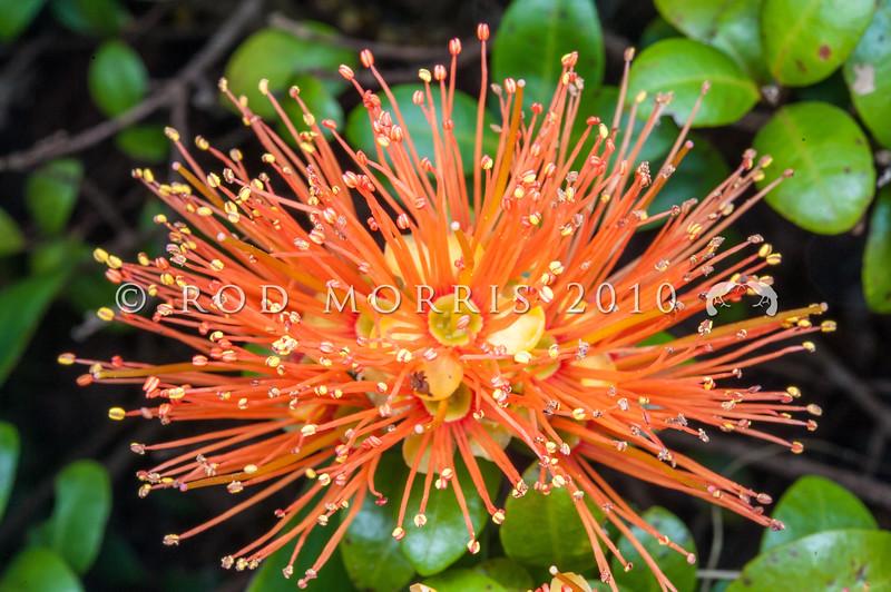 DSC_7714 Orange climbing rata (Metrosideros fulgens) orange flowers in forest, Coromandel Peninsula *