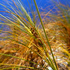 11009-65002 Pingao, or Golden sand sedge (Ficinia spiralis) is found only in New Zealand. Once this dune plant would have been found on almost every sandy beach, from Northland to Stewart Island and the Chathams. Today only a few remnant populations remain. Spirits Bay