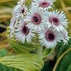 1009-33213 Giant aster (Pleurophyllum speciosum) flowers in Fairchild's Garden, Adam's Island, Aucklands Group