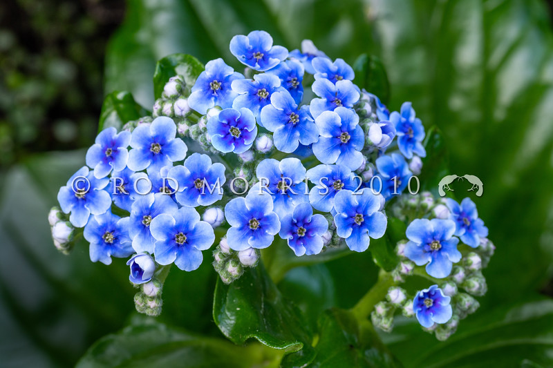 DSC_5678 Chatham Island forget-me-not (Mysotidium hortense) detail of blue flowers. Mangere Island, Chathams Group *