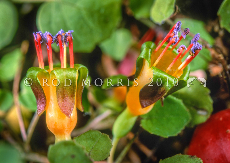 11009-15109  Creeping fucshia (Fucshia procumbens) detail of flowers showing the characteristically purple pollen. Naturally uncommon, this is the smallest fuchsia in the world. It is strictly a coastal species. Kennedy Bay, Coromandel Peninsula *