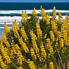 DSC_1944 Yellow bush lupin (Lupinus arboreus) originally from California, this introduced species has changed the chemistry of dune soils, allowing other exotics to establish, to the detriment of our native dune vegetation (which is adapted to low nitrogen levels). Otago Peninsula
