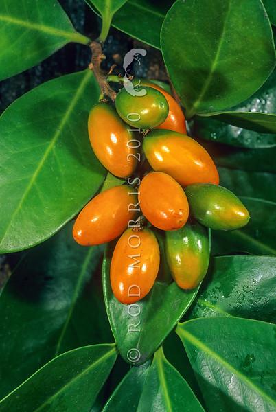 11009-21908 Karaka, or kopi (Corynocarpus laevigatus) showing ripe fruit and leaves *